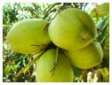 椰子の実(グリセリン脂肪酸エステル)